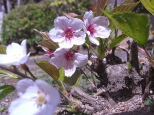 根っこから桜